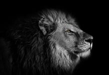 Alles over het sterrenbeeld Leeuw