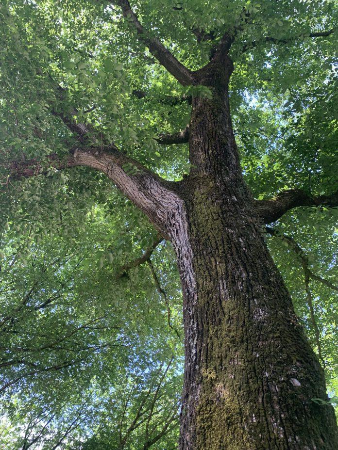 Reuzen van Noord, een verrassende audioroute langs monumentale bomen in Amsterdam-Noord